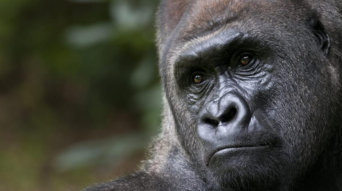 Gorilla Reconnaissance in Uganda